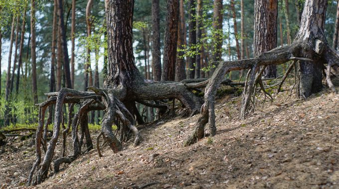 "Fractal: Neighbouring Trees Keep ""dead"" Tree Trunks Alive"
